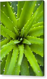 Close-up Of Aloe Plant, Atlantic Forest, Ilha Do Mel, Parana, Brazil Acrylic Print by Chris Hendrickson