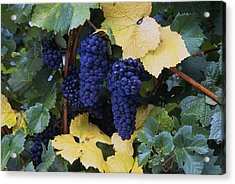 Close-up Of Ripe, Wine Grapes And Leaves Acrylic Print by Natural Selection Craig Tuttle