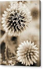 Close-up Of Spiky Plants Acrylic Print by Andrea Sperling