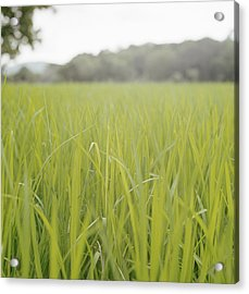 Close Up Of Tall Blades Of Grass Acrylic Print by Laurie Castelli