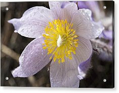 Close Up Of The Inside Of A Prairie Crocus With Water Droplets Acrylic Print by Design Pics / Michael Interisano