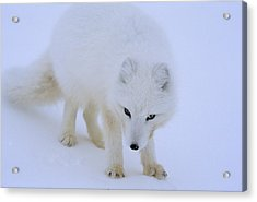 Close Up Portrait Of A White Arctic Acrylic Print by Norbert Rosing