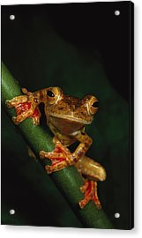 Close View Of A Harlequin Tree Frog Acrylic Print by Tim Laman