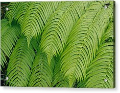 Close View Of Tree Ferns Cibotium Acrylic Print by Marc Moritsch