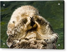 Closeup Of A Captive Sea Otter Covering Acrylic Print by Tim Laman
