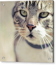 Closeup Of Face Of Tabby Cat Acrylic Print by Cindy Prins