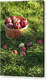 Closeup Of Freshly Picked Apples  Acrylic Print by Sandra Cunningham