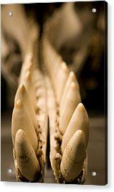 Closeup Of The Teeth Of A Sperm Whale Acrylic Print by Tim Laman