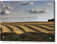 Clouds Over Canola Field On Farm Acrylic Print by Dan Jurak