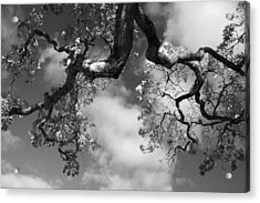 Cloudy Oak Acrylic Print by Laurie Search