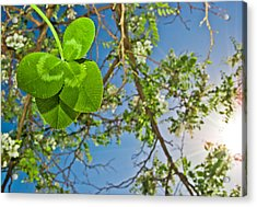 Clover And Sunflare 1 Acrylic Print by Amber Flowers