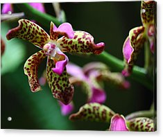 Clown Orchid Acrylic Print by Paul Slebodnick