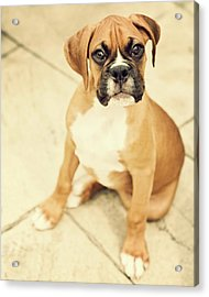 Clyde- Fawn Boxer Puppy Acrylic Print by Jody Trappe Photography