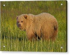Coastal Brown Bear Acrylic Print by David DesRochers