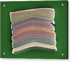 Colonial Diatom, Sem Acrylic Print by Steve Gschmeissner