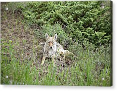 Colorado Coyote Acrylic Print by Jenna Szerlag