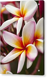 Colorful Plumeria Flowers  Acrylic Print by Anek Suwannaphoom