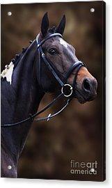 Coloured Show Horse Acrylic Print by Ethiriel  Photography
