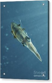 Colourful Squid, North Sulawesi Acrylic Print by Mathieu Meur