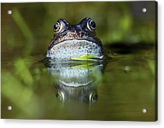 Common Frog In Pond Acrylic Print by Iain Lawrie