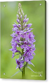 Common Spotted Orchid Acrylic Print by Jacky Parker