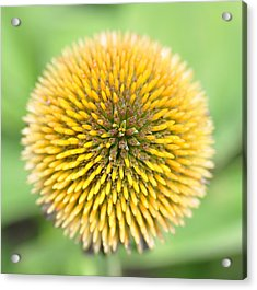 Coneflower Acrylic Print by Photo by Ted Bobosh