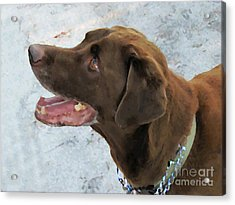 Cooper Acrylic Print by Laura Holt