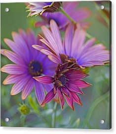 Copper Daisies 1 Acrylic Print by Bonnie Bruno