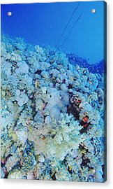 Coral Reef Acrylic Print by Alexis Rosenfeld