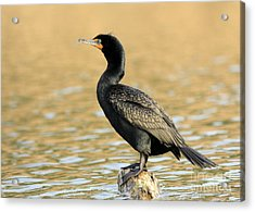 Cormorant At Sunset Acrylic Print by Inspired Nature Photography Fine Art Photography