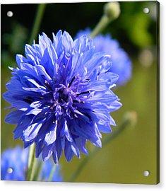 Cornflower Blue Acrylic Print by Sharon Lisa Clarke