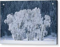 Cottonwood Trees With Frost Acrylic Print by Skip Brown