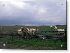 Cow Convergence Acrylic Print by Kathy Yates