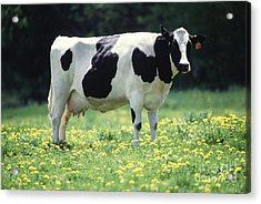 Cow In Pasture Acrylic Print by Science Source