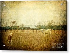 Cow Pasture Acrylic Print by Joan McCool