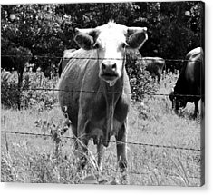 Cow Time Acrylic Print by Sharon Farris