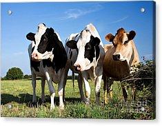 Cows Acrylic Print by Jane Rix