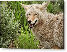 Coyote Hunting Acrylic Print by Bjbowne