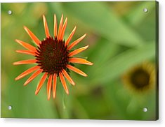 Crazy Coneflower Patch Acrylic Print by Maria Suhr