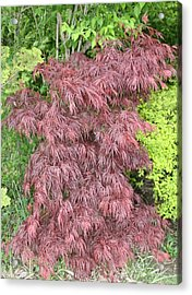 Crimson Waterfall A Japanese Maple Acrylic Print by James Collier