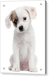 Cross Breed Puppy (2 Months Old) Acrylic Print by Life On White