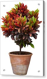 Croton Tree In Flowerpot Acrylic Print by Atiketta Sangasaeng