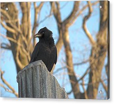Crow In Wind Acrylic Print by Gothicolors Donna