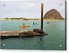 Curious About Sea Lions Acrylic Print by Heidi Smith