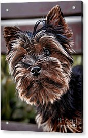 Curious Yorkshire Terrier Acrylic Print by Mariola Bitner