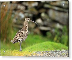 Curlew  Acrylic Print by Clare Scott