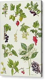 Currants And Berries Acrylic Print by Elizabeth Rice