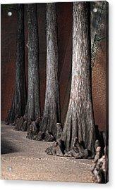 Cypress Acrylic Print by Greg Kopriva