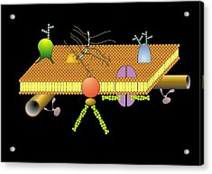 Cytoskeleton And Membrane, Artwork Acrylic Print by Francis Leroy, Biocosmos