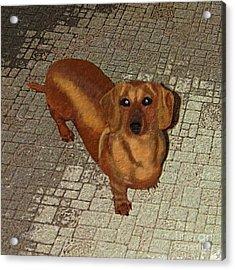 Dachshund - Cinnamon Acrylic Print by L J Oakes
